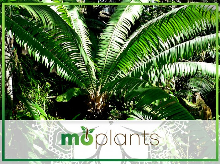 Cycads For Hot Zone Gardens