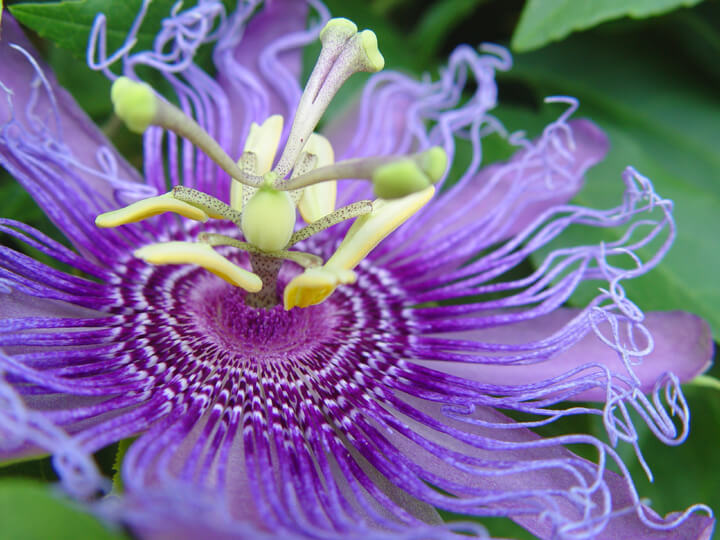 Incense Passionflower