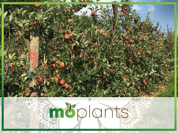 Everything You Need to Know About Columnar Fruit Trees & How to Grow One