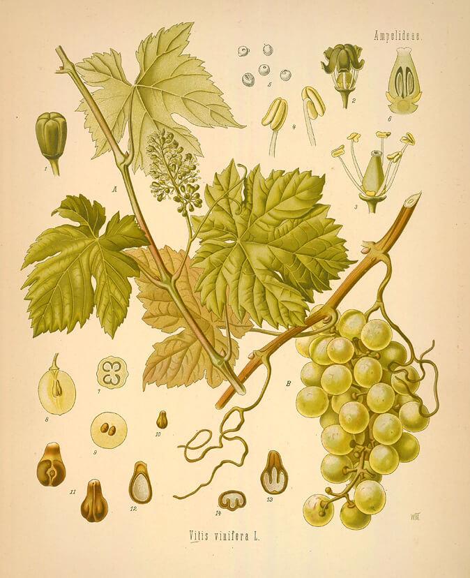 Grape and vine