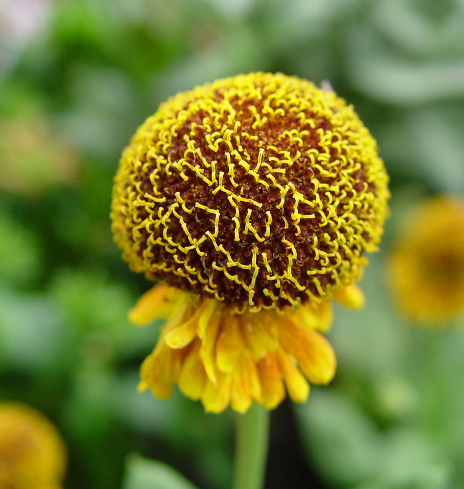 Hybrid Blanketflower