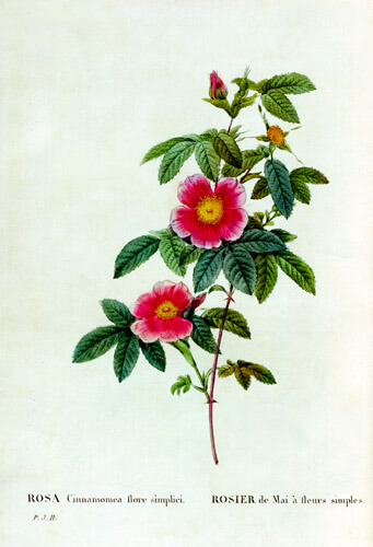 Redoute roses