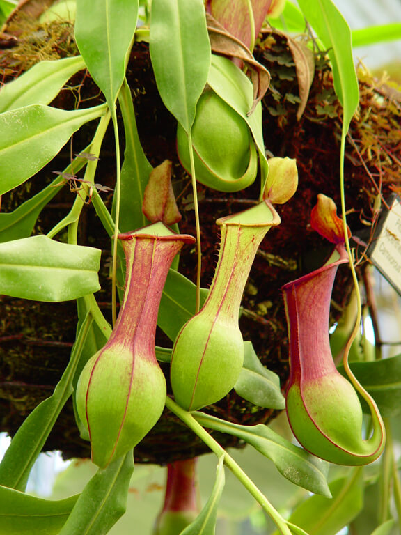 Nepenthes hybrid Tropical Pitcher Plant