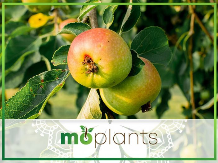 Grafted Fruit Trees: A How-to Step-by-Step Guide