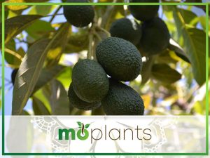 How to Grow an Avocado Tree That Bears Fruit: Tips and Tricks