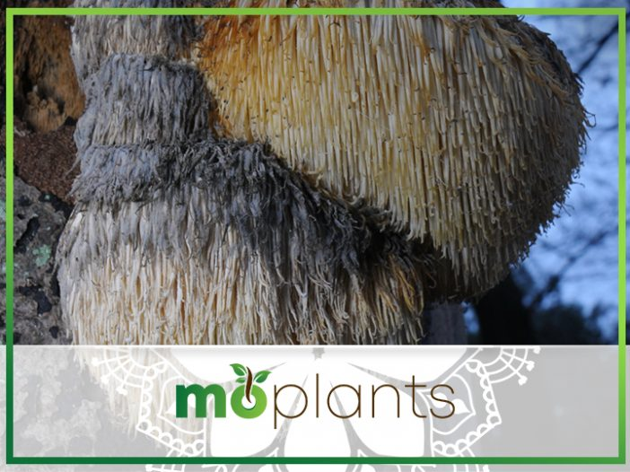 Growing Lion's Mane Mushroom: A How-To Guide