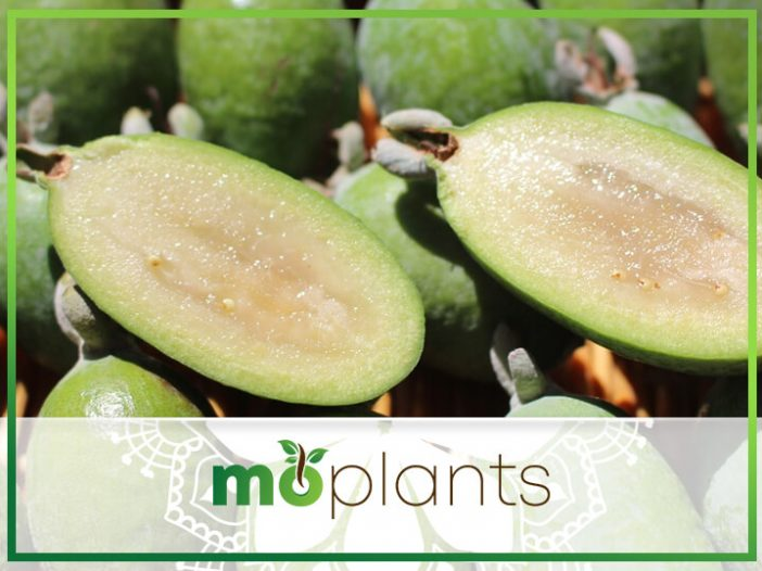 How to Grow Your Own Pineapple Guava Fruit: A Step-by-Step Guide