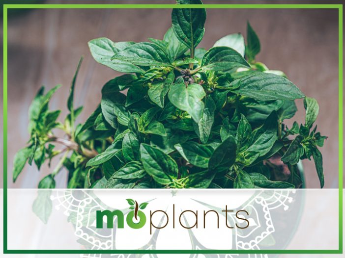 Spider Repellent Plants You Need for Your Home Now
