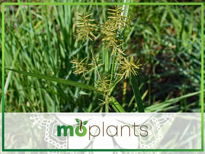 How to Get Rid of Nutsedge To Ensure A Healthier Lawn