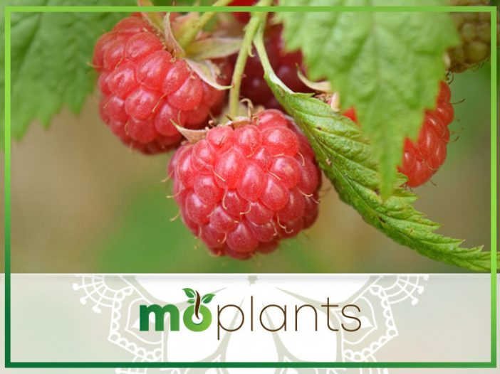 Growing Raspberries Indoors: Planting a Healthy Snack for Your Household