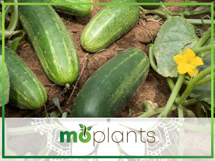 How to Pollinate Cucumbers Using Your Own Bare Hands
