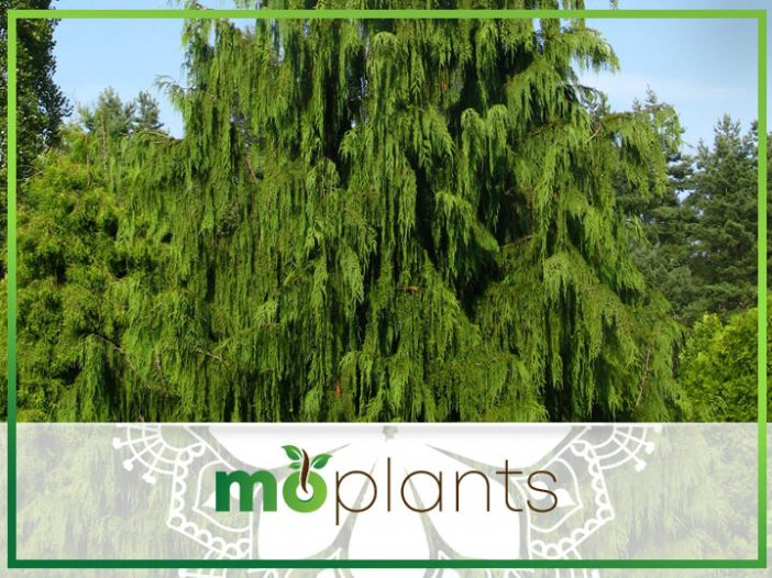 Weeping Cypress: An Alaskan Cedar Evergreen Tree That's Easy to Grow & Love