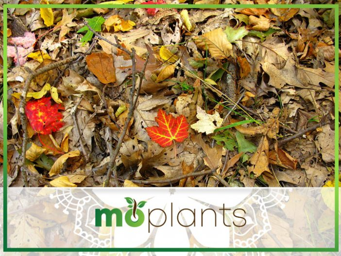 Using Leaves as Mulch in Vegetable Garden