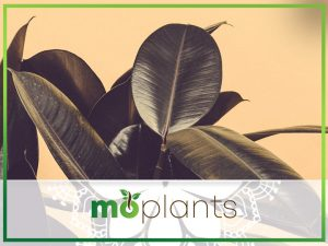 How to grow rubber plant
