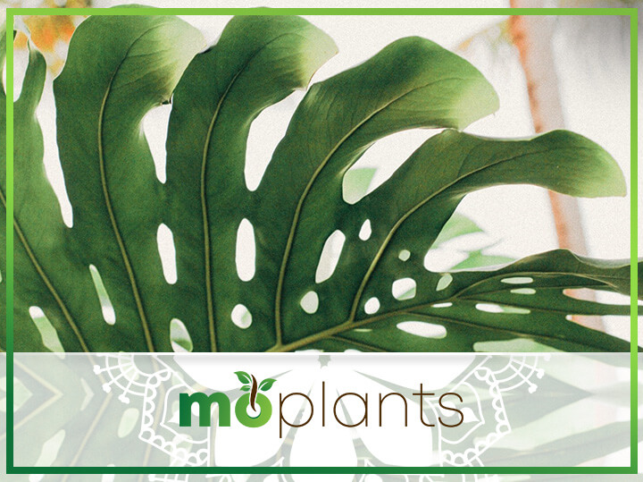 Your Ultimate Guide on How to Grow and Care for Monstera Deliciosa
