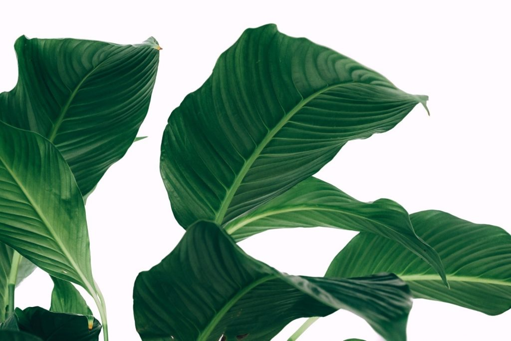 Peace lilies are tropical plants