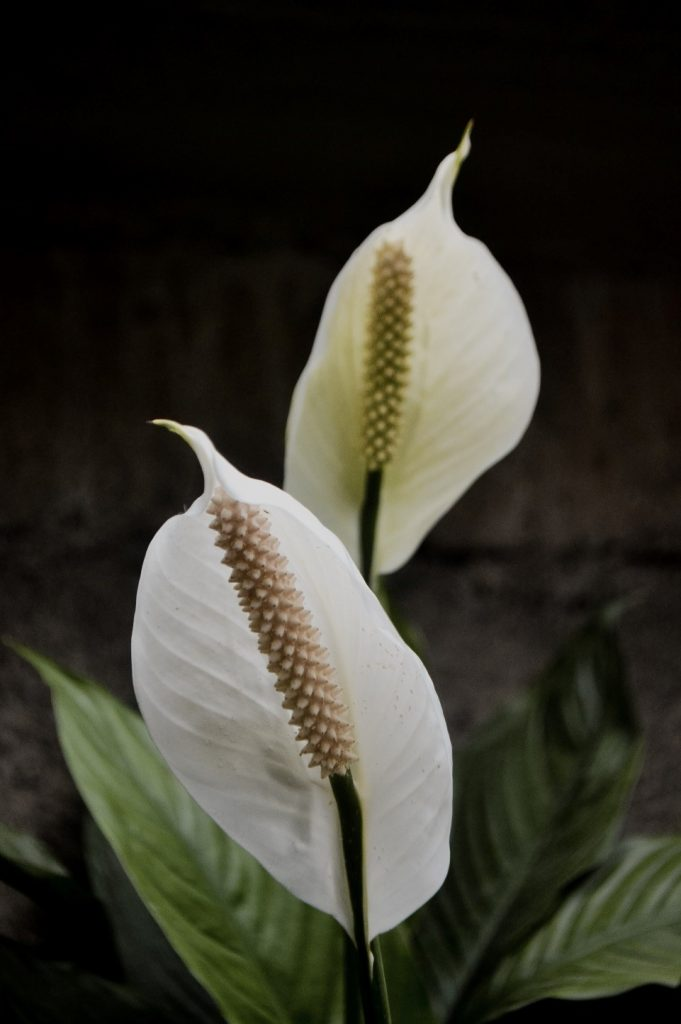 peace lily care tips