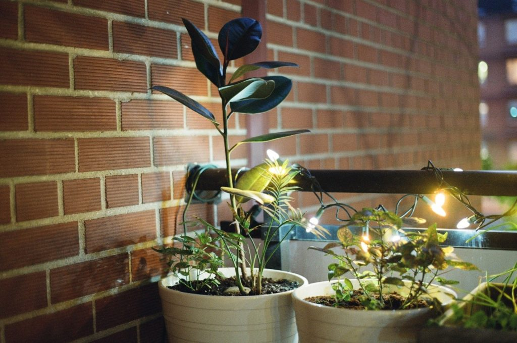 Rubber plant care tips