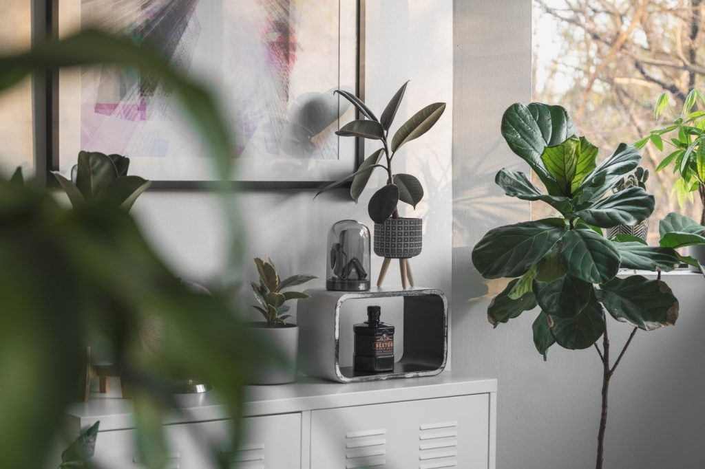 rubber plant indoors