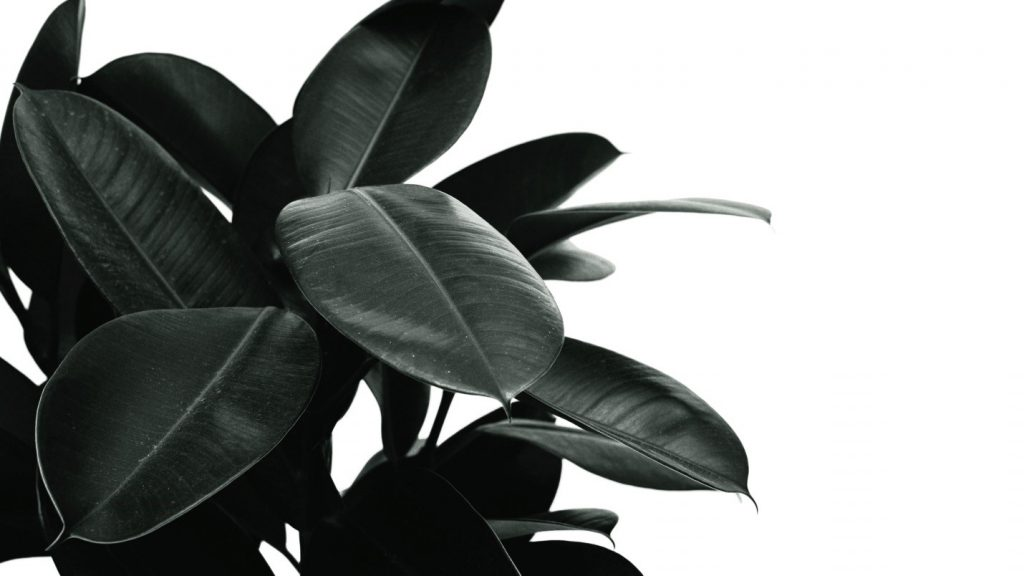 rubber plant trees