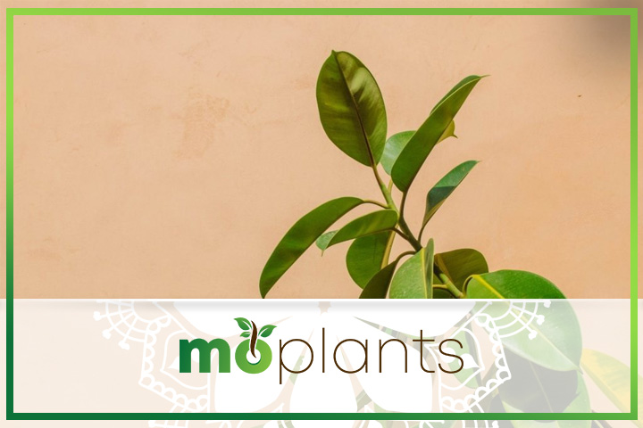 tips for growing rubber plants