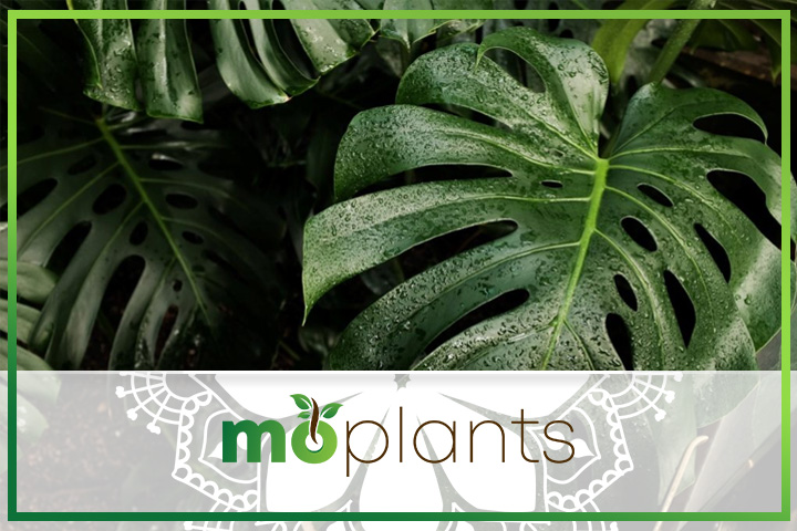 Monstera deliciosa is a fruit-bearing plant