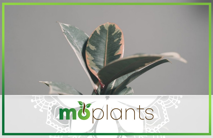 Rubber plant types