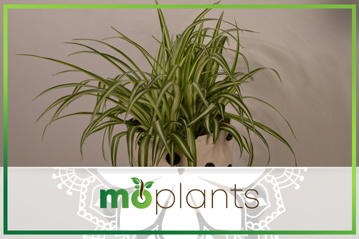 Common spider plant problems and how to solve them