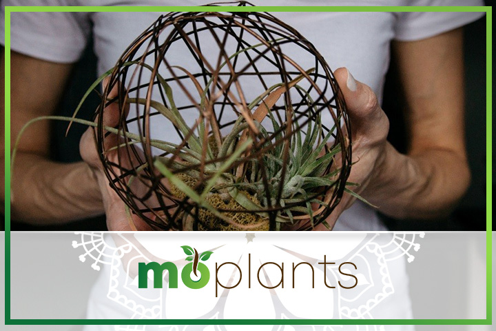 tips to grow air plant indoors