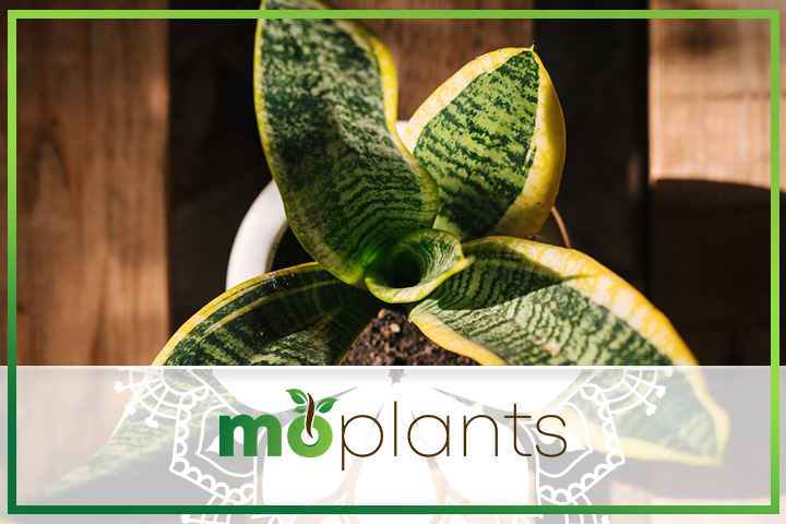 Tips on how to grow snake plant indoors