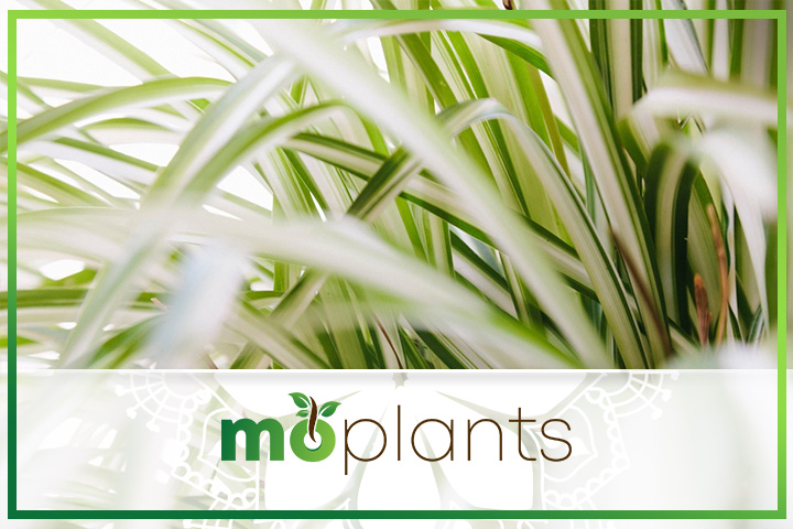 Tips on how to grow spider plant indoors