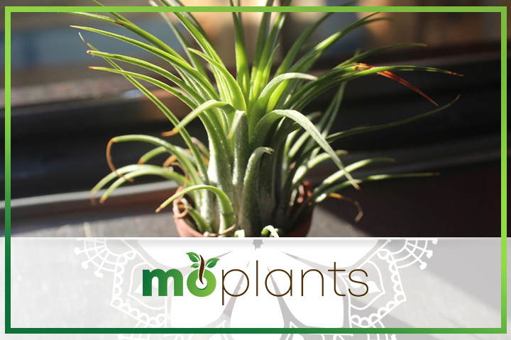 Air plant is also called Tillandsia