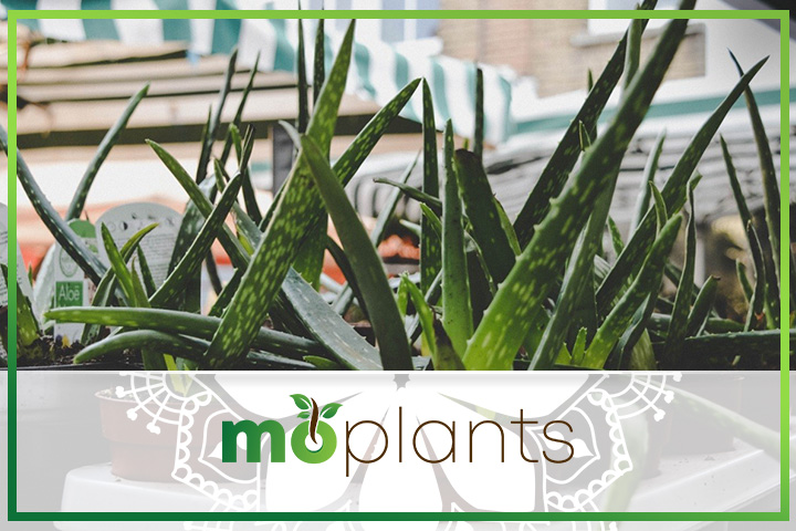 Aloe vera is also known as Aloe barbadensis miller