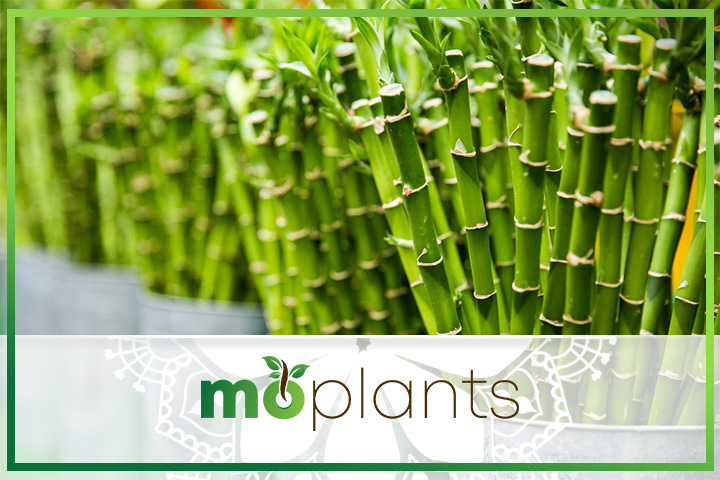 Bamboo plant care tips