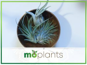 How to grow and care for an air plant