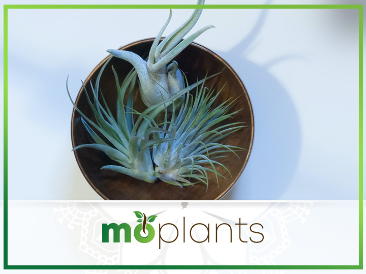 Your Complete Guide on How to Grow and Care for Air Plant
