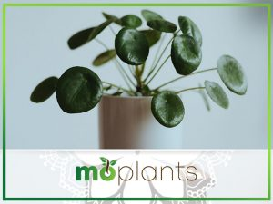 Tips to grow Chinese money plant indoors