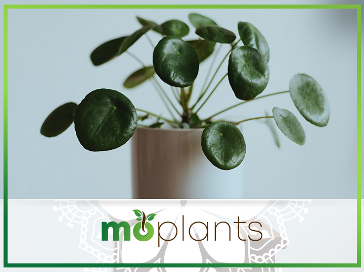 Your Guide on How to Grow and Care for Chinese Money Plant