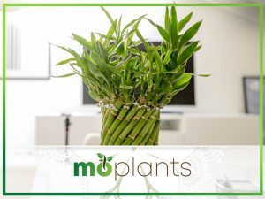 Guide to growing lucky bamboo indoors