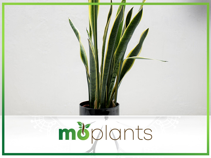 Comprehensive Guide on How to Grow and Care for Snake Plant