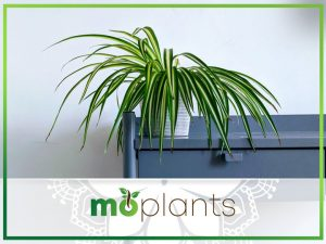 How to grow spider plant indoors
