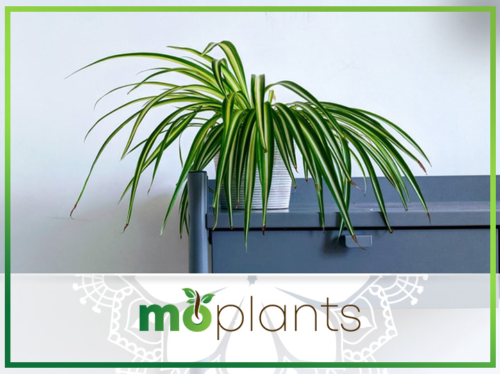 Complete Guide on How to Grow and Care for Spider Plant