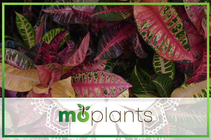 Tips to grow croton plant indoors
