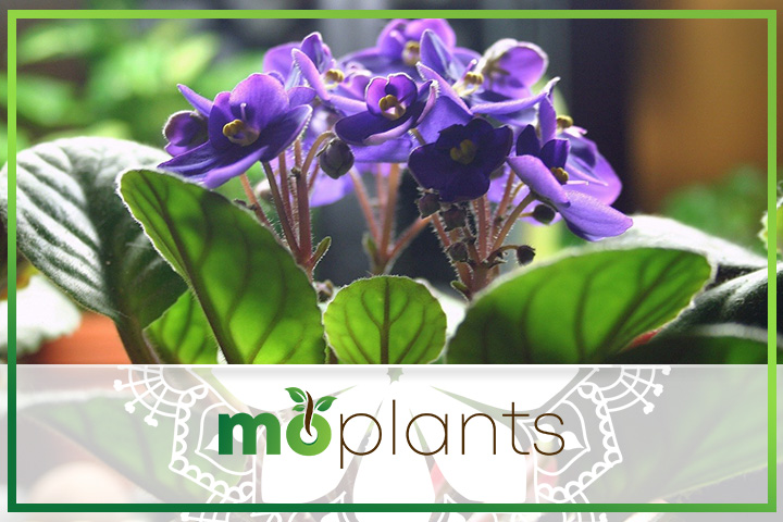 How to grow African violet plants indoors