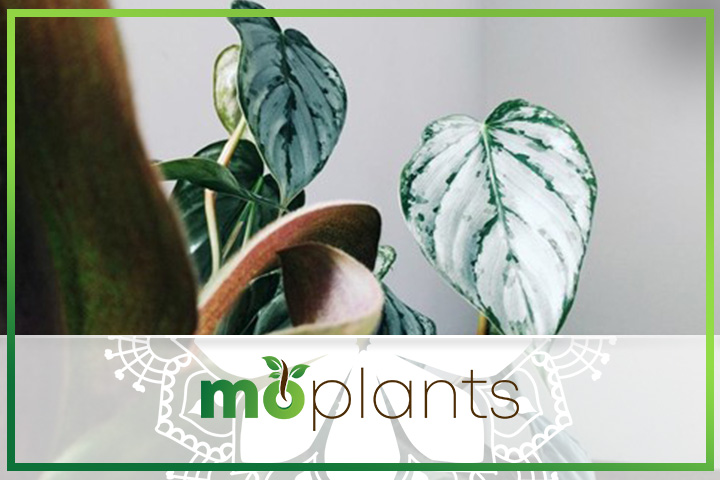 Philodendron belongs to the Araceae family
