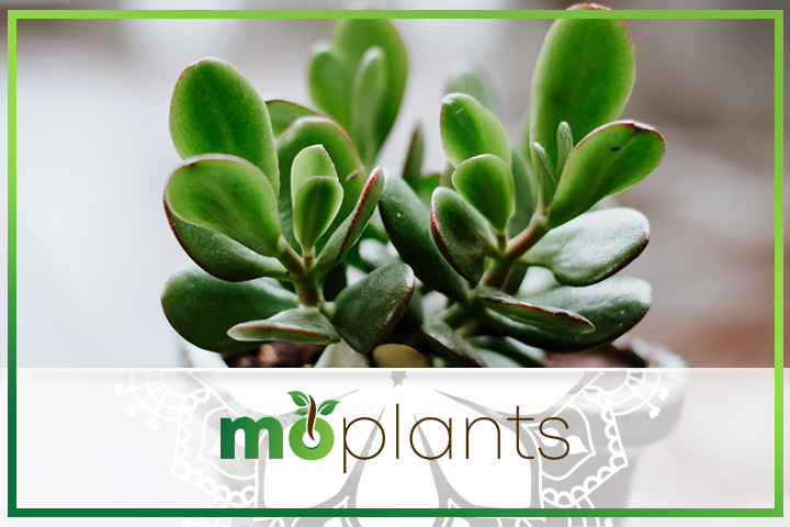 Jade plant care tips