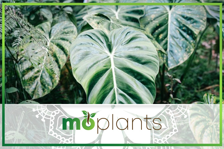 Philodendron care tips