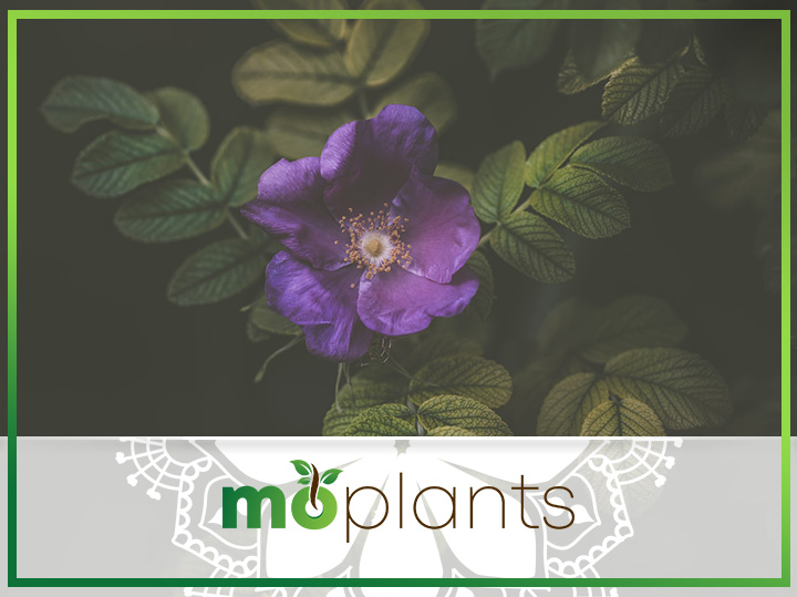 Guide to growing an African violet plant