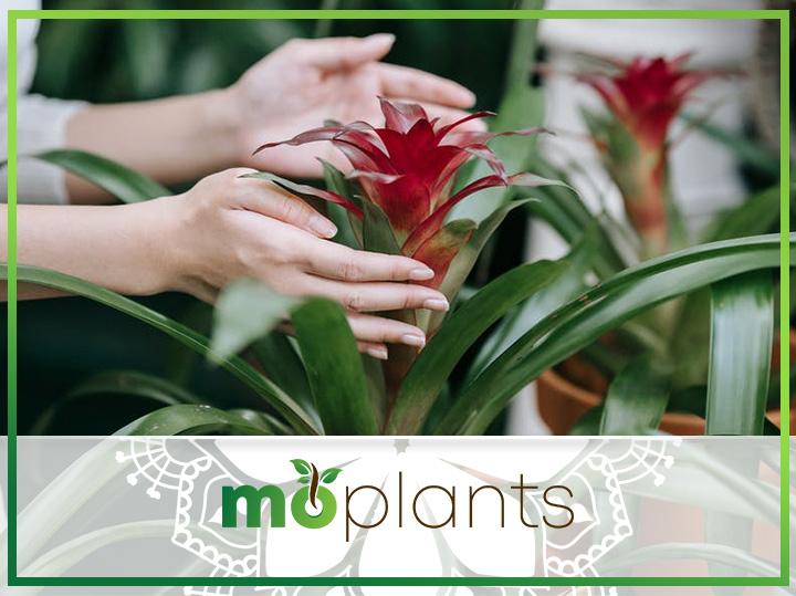 Growing bromeliad plant indoors
