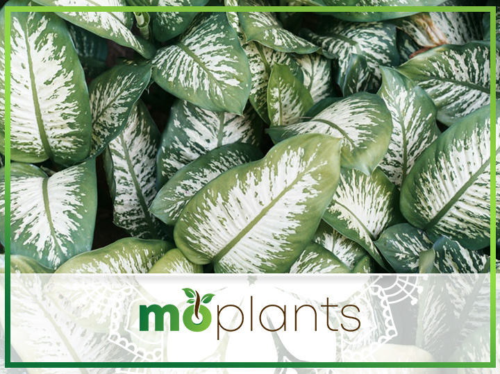 Your Guide on How to Grow and Care for Dumb Cane Plants